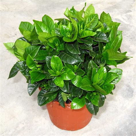 gardenia vaso ciarrocchi vivai quality plants since 1915 gardenia vaso