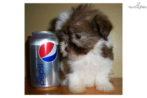 havanese mini pin teacup havanese puppies sale image search results on