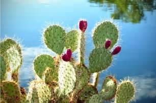 The 23 benefits of cactus plants ferocactus pilosus