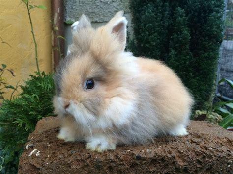 coniglio testa di nano coniglio nano testa di comportamento