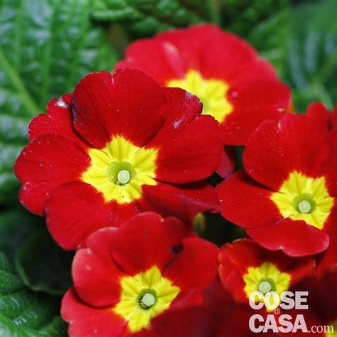fiori primule primule in casa in balcone e in giardino cose di casa