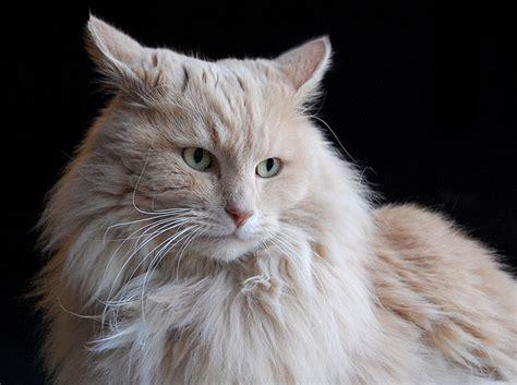fotos de gatos gatos angora gemelos jpg pictures to pin on pinterest gato related keywords gato long tail keywords keywordsking