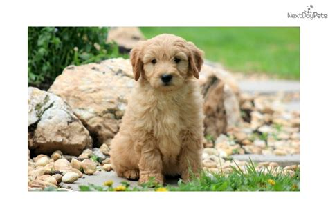 goldendoodle puppy age goldendoodle puppy for sale near lancaster pennsylvania