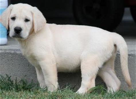 yellow lab puppies for sale in va labrador retriever breeders va dogs in our photo
