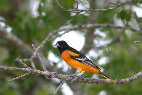 top 28 oriole bird food 5 tips to attracting orioles