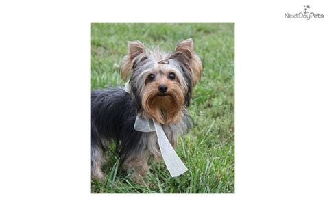 yorkie for cheap price meet toby a terrier yorkie puppy for sale for 350 cheap t cup yorkie
