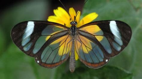 imagenes mariposas raras las 12 mariposas m 225 s fascinantes del mundo loquenosabias