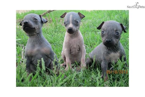 american hairless terrier puppies for sale terrier puppies for sale american hairless terrier puppies for sale breeds picture