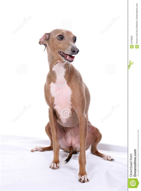 puppies open italian greyhound with open stock photo image of greyhound proud 5479830
