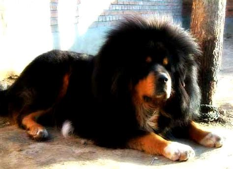rottweiler and poodle mix rottweiler mix tibetan mastiff photo happy heaven