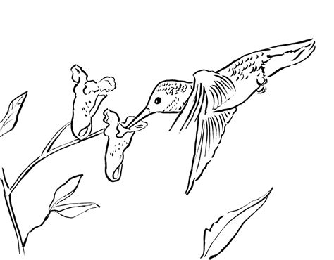 printable coloring pages hummingbirds hummingbird coloring page bell