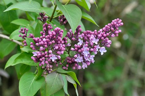 common flowering shrubs pin flower syringa lilac free wallpapers on