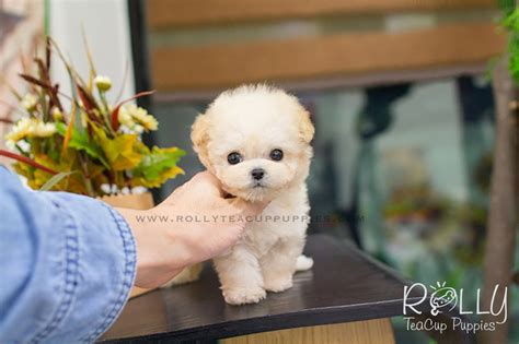 rolly teacup puppies for sale abigail poodle rolly teacup puppies
