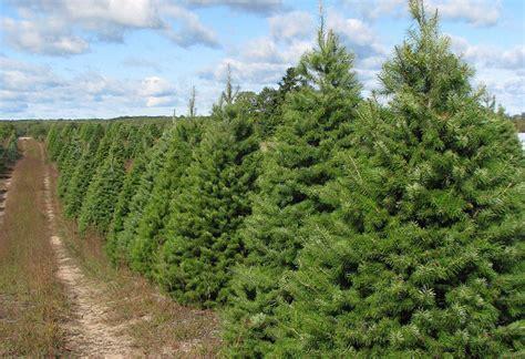 douglas fir christmas tree care douglas fir