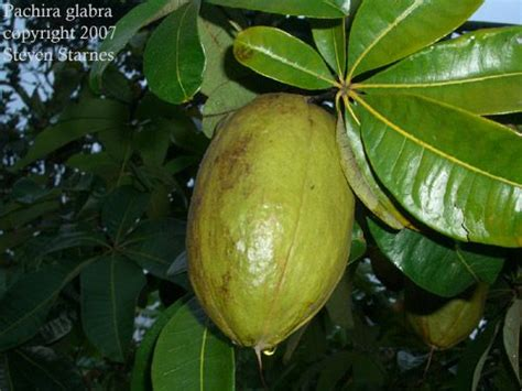 94 fruit with seeds 185 best fruit plants trees images on