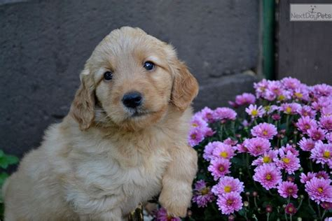 mini doodle virginia goldendoodle puppy for sale near charlottesville virginia