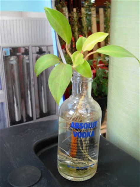 Jual Bibit Bunga Dahlia Di Bali harga tanaman bunga lavender tanamanbaru