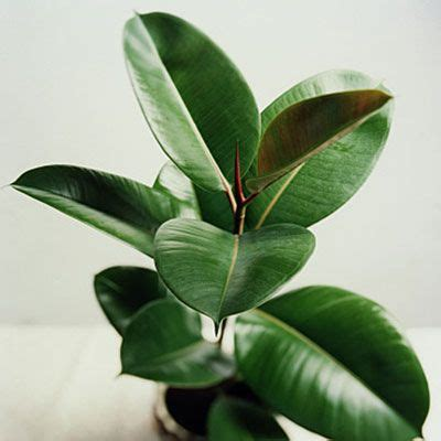 plants that grow in low light 10 best houseplants for low light ficus elastica rubber