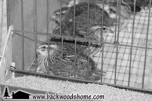 raising backyard quail 17 best images about quail on pinterest alabama