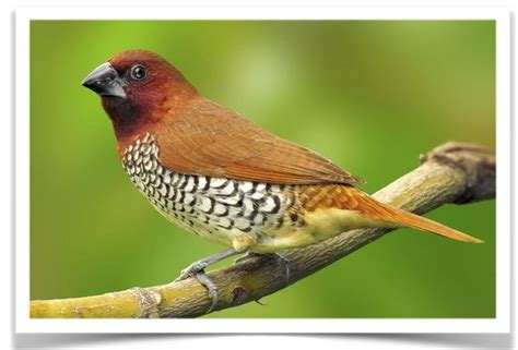 spice finches for sale at www thefinchfarm com also