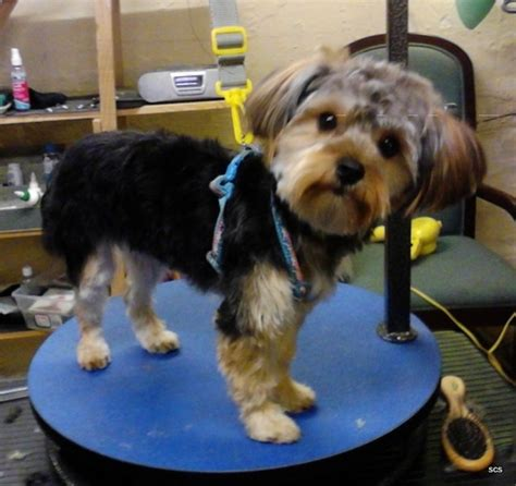 haurcuts for yorkipoos yorkie poo haircut styles haircuts models ideas