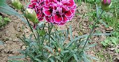 taman bunga bunga anyelir  manfaatnya