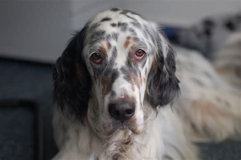 setter dog traits english setter dog breed information all about dogs