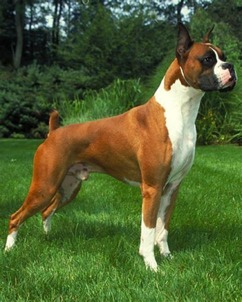 boxer weight average size and weight of boxer dogs many