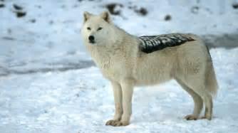 dire wolf dire wolf genome reveals closer evolutionary relationship with jackals