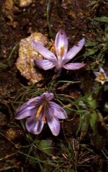 fiore croco croco linguaggio dei fiori croco linguaggio dei fiori