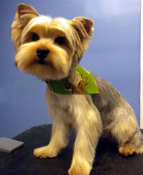 how to cut a yorkie poo s hair yorkie puppy cut grooming