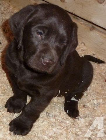 chocolate lab puppies for sale in nh akc registered purebred chocolate lab puppies for sale in milton new hshire