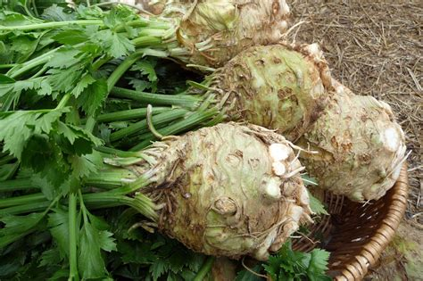 is celery a root vegetable burgers root veggies and earth eats indiana
