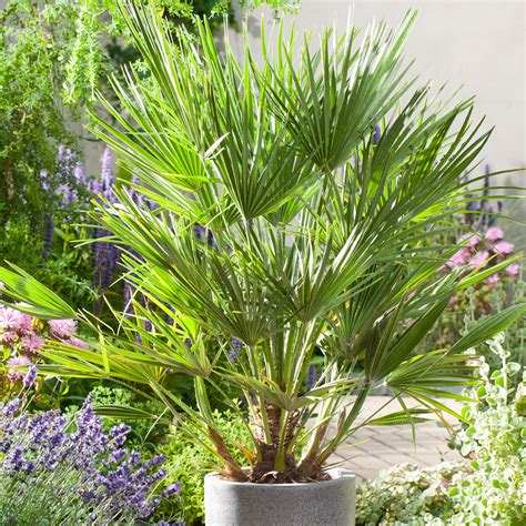 chamaerops humilis mediterranean fan palm chamaerops humilis fan palm dobbies garden centres