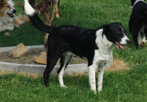 border collie beagle mix puppies border beagle border collie x beagle mix info temperament puppies pictures