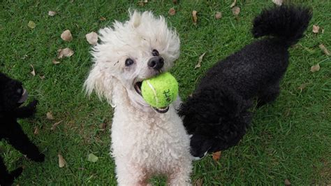 can my teacup poodle get the standard poodle haircut 5 things to know about poodles petful