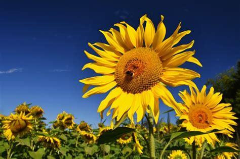 bloem boederij zonnebloemen bloeien in boerderij veld met blauwe lucht