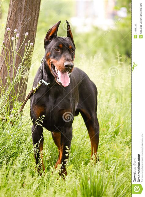how to your doberman to be a guard doberman pinscher stock photo image 33518220