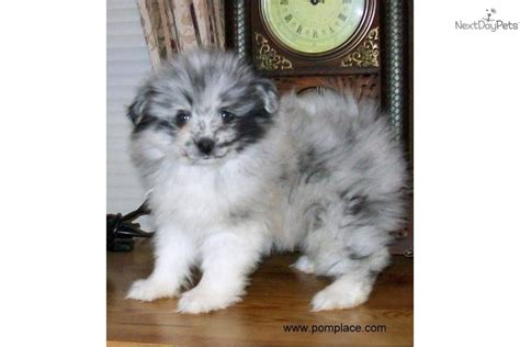parti pomeranian puppies teacup pomeranian free parti pomeranian puppies breeds picture