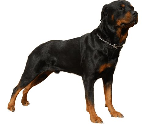 history rottweiler rottweiler breed health history appearance temperament and maintenance
