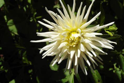 fiori dalia dalie coltivazione