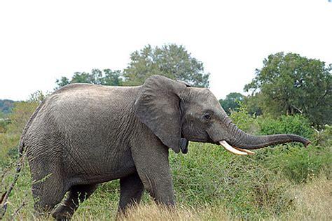 elephant penis tattoo nut gets elephant trunk on his