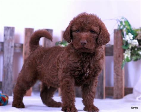 puppies for sale in tulsa puppies for sale puggle yorkie goldendoodle labradoodle standard poodle pug shorkie