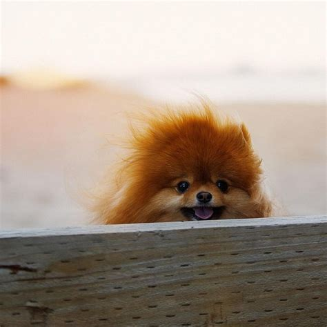 what do pomeranians look like 1295 best images about pom on pomeranian pomeranian haircut and