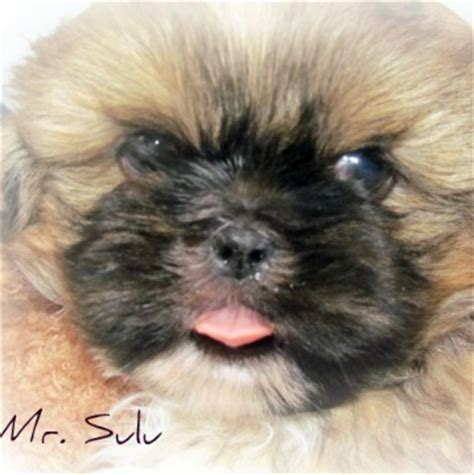 how can you leave a shih tzu alone shih tzu small breed