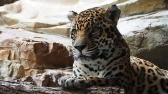 jaguar and cat free photo jaguar cat animal big carnivore free