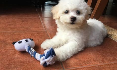 bichon frise puppies for sale craigslist the secret to bichon frise puppies breeders