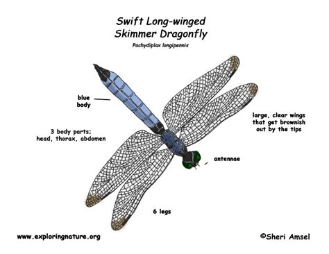 dragonfly anatomy diagram dragonfly parts diagram related keywords dragonfly