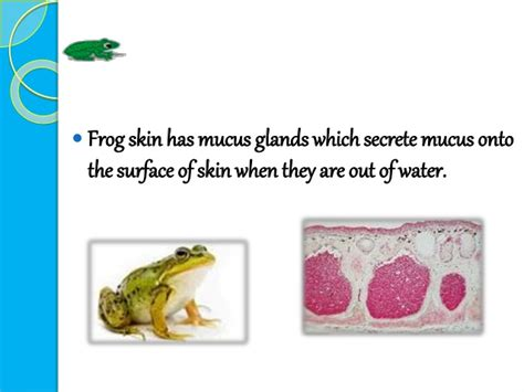 Cutaneous Respiration In Frog Essay by Cutaneous Respiration In Frog