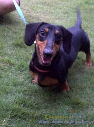 Trening Pendek Anak Umur 6 7 Tahun dunia anjing jual anjing dachshund jual mini tekel